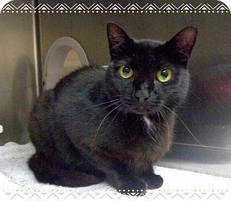 Domestic Shorthair Cat for adoption in Marietta, Georgia - MIRA