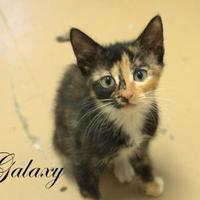 Adopt A Pet :: Galaxy - Middleburg, FL