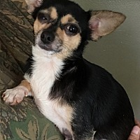 Adopt A Pet :: Dixie - Rutledge, TN