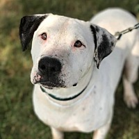 Dalmatian/Labrador Retriever Mix Dog for adoption in Mount Laurel, New Jersey - Harper