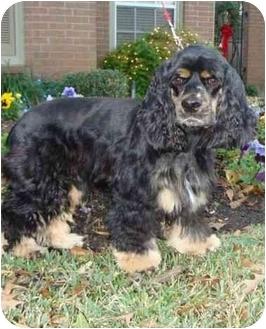 Cocker Spaniel Dog for adoption in Sugarland, Texas - Daniel