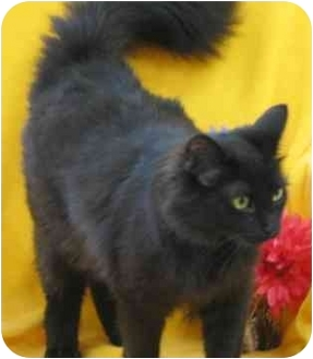Maine Coon Cat for adoption in Newland, North Carolina - Shadow