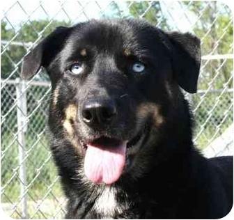 Husky/Shepherd (Unknown Type) Mix Dog for adoption in Berea, Ohio - Smalls