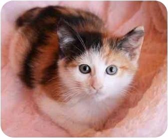Calico Kitten for adoption in Newport Beach, California - JOSIE