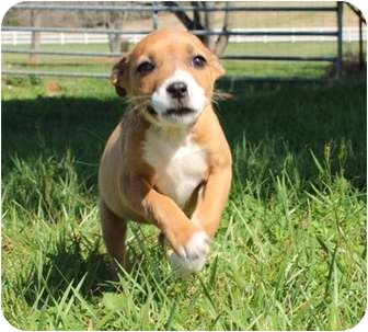 Australian Shepherd Mix Puppy for adoption in Hagerstown, Maryland - Greta