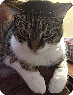 Domestic Shorthair Cat for adoption in Miami, Florida - Kink