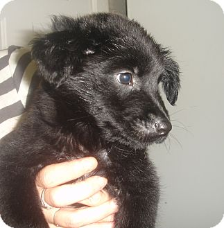 Labrador Retriever Mix Puppy for adoption in Old Bridge, New Jersey - Angus