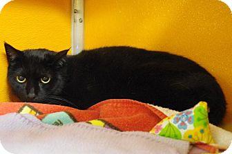 Domestic Shorthair Cat for adoption in Elyria, Ohio - Diamond