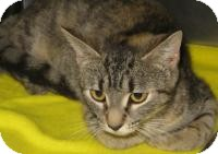 Domestic Shorthair Cat for adoption in Mineral, Virginia - lily