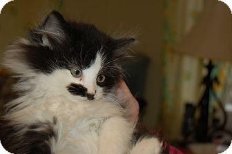 Domestic Longhair Kitten for adoption in Hazard, Kentucky - Wendy