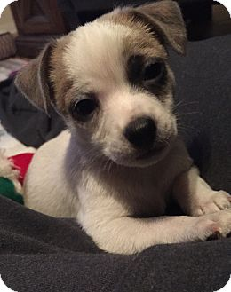 Chihuahua Mix Puppy for adoption in Kerrville, Texas - Leo