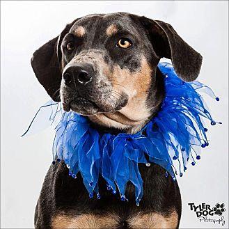 Doberman Pinscher Mix Dog for adoption in Okmulgee, Oklahoma - Sienna