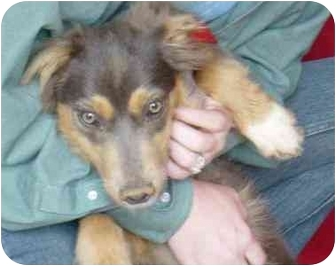 Australian Shepherd/Shepherd (Unknown Type) Mix Dog for adoption in Sealy, Texas - Shanti