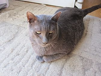 Domestic Shorthair Cat for adoption in San Ramon, California - Trey