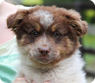 Australian Shepherd Mix Puppy for adoption in Chicago, Illinois - CISCO