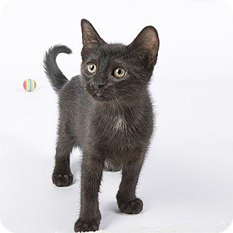 Domestic Shorthair Kitten for adoption in Wilmington, Delaware - Trey