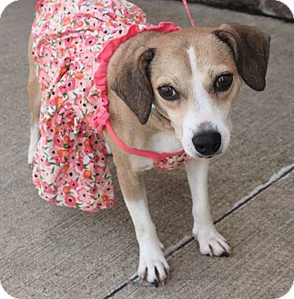 Chihuahua/Beagle Mix Dog for adoption in Lexington, Kentucky - Lilly