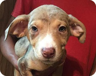 Catahoula Leopard Dog/Border Collie Mix Puppy for adoption in Ocala, Florida - Jay