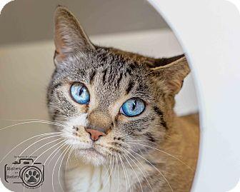 Siamese Cat for adoption in Divide, Colorado - Princess