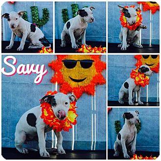 American Pit Bull Terrier/Labrador Retriever Mix Puppy for adoption in Phoenix, Arizona - Savy