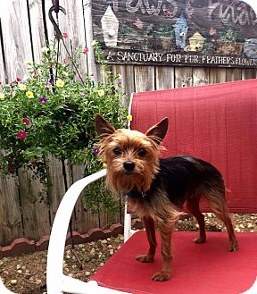 Yorkie, Yorkshire Terrier Dog for adoption in Cleveland, Ohio - Coppertone