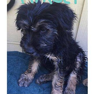 German Shepherd Dog/English Sheepdog Mix Puppy for adoption in South San Francisco, California - Timber