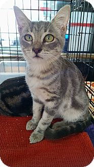 Domestic Shorthair Cat for adoption in Fischer, Texas - Jeremy