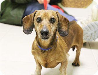 Dachshund Mix Dog for adoption in Elyria, Ohio - Grandpa