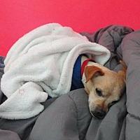 Adopt A Pet :: Bibby - San Ramon, CA
