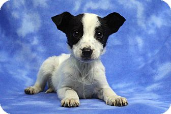 Blue Heeler/Shepherd (Unknown Type) Mix Puppy for adoption in Westminster, Colorado - KAYLEE