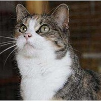 Domestic Shorthair Cat for adoption in Eldora, Iowa - Kristal