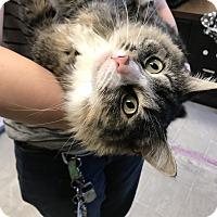 Domestic Longhair Cat for adoption in Plainville, Massachusetts - Enchant