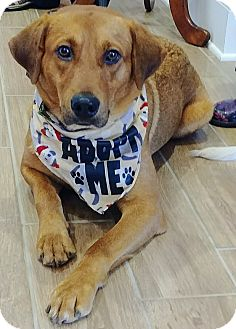 Golden Retriever/Mixed Breed (Medium) Mix Dog for adoption in Charlotte, North Carolina - Theodore