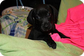 Hound (Unknown Type) Mix Puppy for adoption in Gallatin, Tennessee - Anne