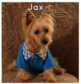 Yorkie, Yorkshire Terrier Dog for adoption in Winston Salem, North Carolina - Jax