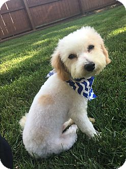 Poodle (Miniature) Mix Dog for adoption in Troy, Michigan - Oliver
