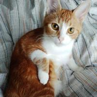 Domestic Shorthair/Domestic Shorthair Mix Cat for adoption in THORNHILL, Ontario - CRICKET