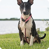 Adopt A Pet :: Starla - FT. MYERS, FL