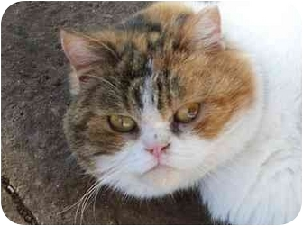 Scottish Fold Cat for adoption in Lexington, Missouri - Chai