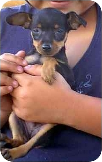 Miniature Pinscher Puppy for adoption in dewey, Arizona - Brutus