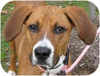 Hound (Unknown Type) Mix Dog for adoption in Eatontown, New Jersey - Coco