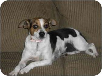 Rat Terrier Mix Dog for adoption in Williston, Vermont - Topanga