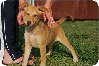 German Shepherd Dog/Retriever (Unknown Type) Mix Dog for adoption in Bunkie, Louisiana - Jester