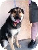 German Shepherd Dog/Husky Mix Dog for adoption in Las Vegas, Nevada - BUDDY MAN