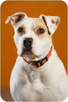 English Bulldog/American Pit Bull Terrier Mix Dog for adoption in Portland, Oregon - Roxy