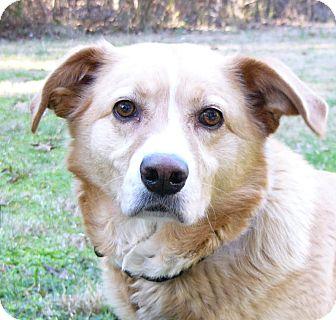 Labrador Retriever/Golden Retriever Mix Dog for adoption in Mocksville, North Carolina - Jacqueline