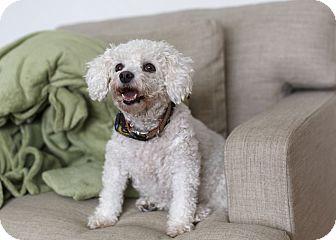 Bichon Frise Dog for adoption in Rigaud, Quebec - Dior