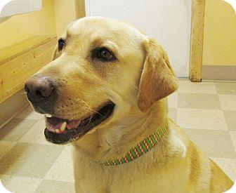 Labrador Retriever Dog for adoption in Libby, Montana - Griz