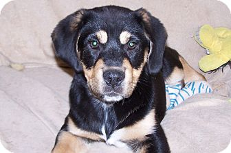 Rottweiler Mix Puppy for adoption in Greensboro, Georgia - Brandy