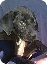 Labrador Retriever Mix Puppy for adoption in Santee, California - Dancer
